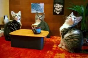Kediler de Windows Phone kullanır