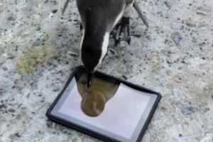 Penguenler de iPad kullanıyor
